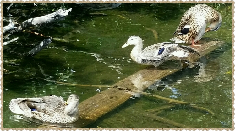 These ducks were grooming themselves the entire time we were there. They spend hours each day preening their feathers.