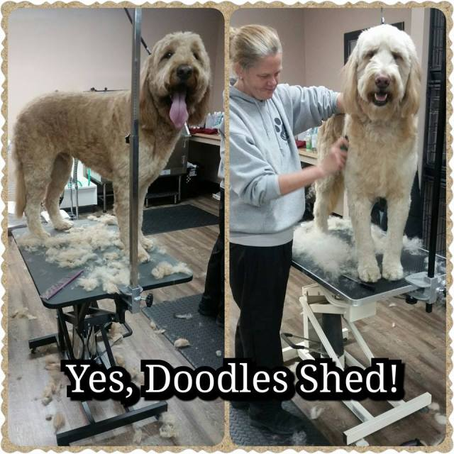 I hear all the time that Doodles don't shed. That's kind of like saying