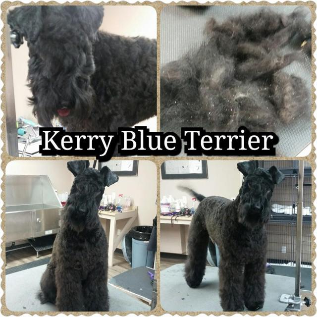 The top left is before I started grooming this beautiful girl. Notice on the top right the amount of dead hair that I was able to card out, and the dander (cellular debris) that came out of her skin.
